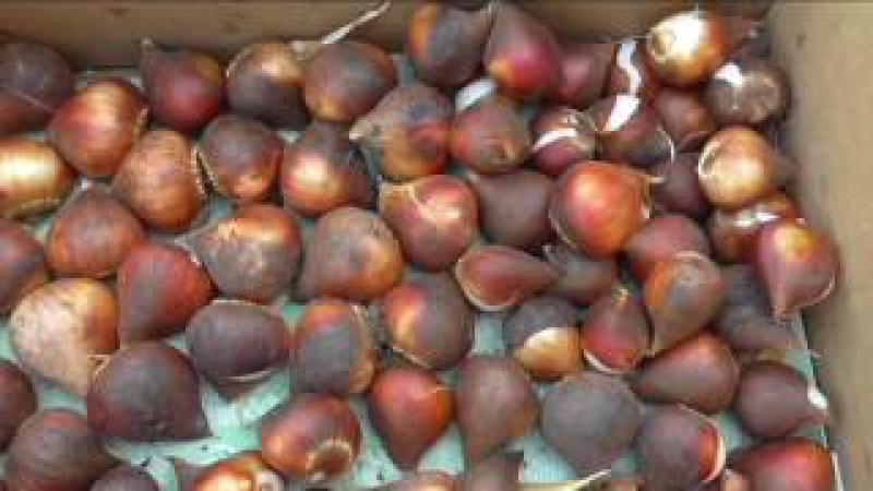 Луковицы тюльпанов после просушки и обрезки