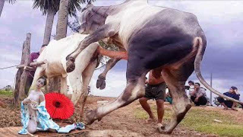Wow! Amazing Man Breed Cow in cambodia How to breds cows in my Country របៀបបង្កាត់ពូជគោបា