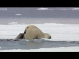 03 Hungry polar bear surprises a seal - The Hunt_ Episode 2 Preview - BBC One