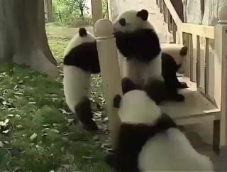 Красавчики панды балуются