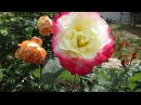 Дача. Цветут розы. Сорта и мои комментарии.