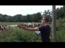 Live Burp Concert Infront A Cattle Of Cows