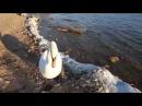Песчаный пляж в Крыму Лебеди нападают на людей в Евпатории