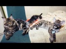 СРАВНЕНИЕ КОТЕНКА ПУМЫ И РЫСИ Игры больших собак Тренинг диких кошек