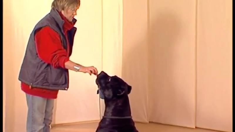 команда Сидеть - дрессировка собак дома с нуля