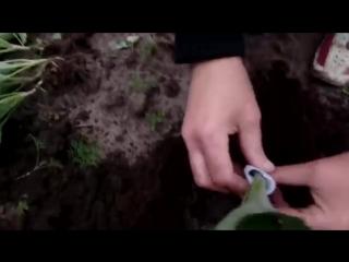 Высадка рассады капусты в открытый грунт. Защита от медведки