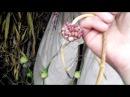 Воздушные бульбочки чеснока Загатовка сушка и дозаривание в тени