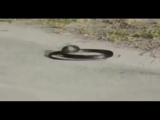Кавказская змея dance snake