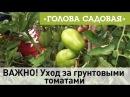 Голова садовая - ВАЖНО! Уход за грунтовыми томатами