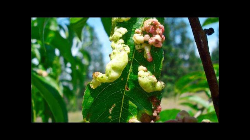 Курчавость листьев ПЕРСИКА как лечить Быстро и Эффективно