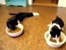 Combilatie de pisici care s-au imbatat