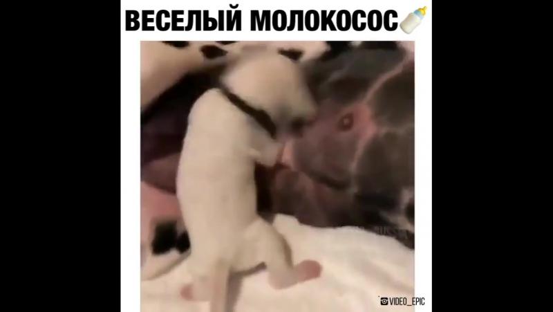 веселый молокосос