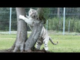FAQ Friday Big Cats And Their Scent Glands