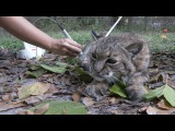 Laser Therapy for Little Feather Bobcat and Jumanji Leopard