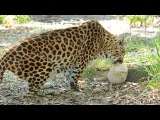 The Big Cats Get Easter Egg-sicles
