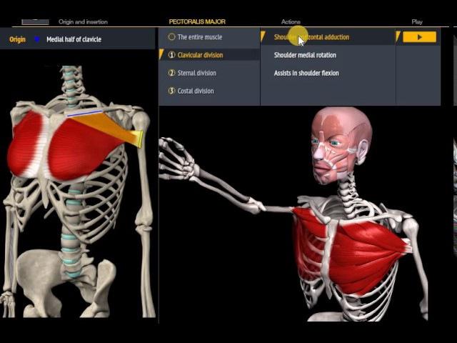 Анатомия.Большая грудная мышца. Функции, начало, крепление