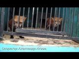 Лисички беседуют на повышенных тонах. Зоопарк в Красноуфимске 24.09.17.