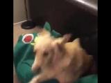 Парень сделал живую копию любимой игрушки своей собаки (6 sec)