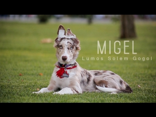 Migel -border collie tricks (4 month)