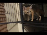 Spirit the Baby Kit Fox Explores Freely