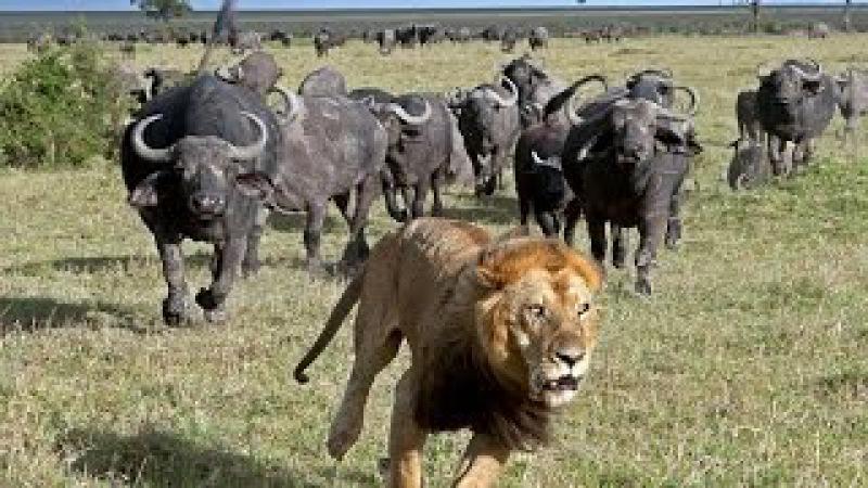 Быки прогнали львов защищая бычка