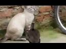 Duck attacked cat / Утка напала на кота