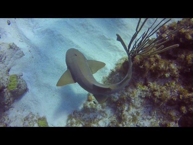 Scuba instructor pulls kitchen knife out of sharks head in Cayman