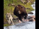 Драка Реальное видео Медведь против трёх волков ападения животных,