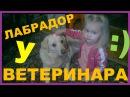 Лабрадор и самый маленький ветеринар )