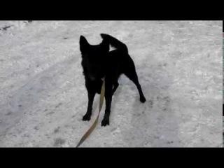Знайдена чорна німецька вівчарка.