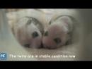 Новорожденные панды-близнецы