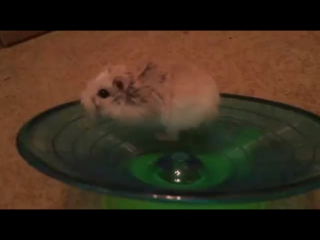 You Spin Me Right Round hamster