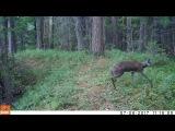 Кабарга, саблезубый олень