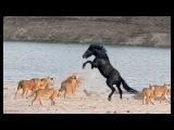 Lion vs Zebra Real fight