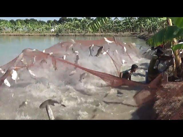 Big Fish Hunting By Net From Bugdhani Pond Of Dalas