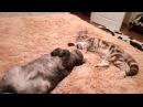 Ленивые драки моих британских котиков. Смотреть всем, очень милое видео!