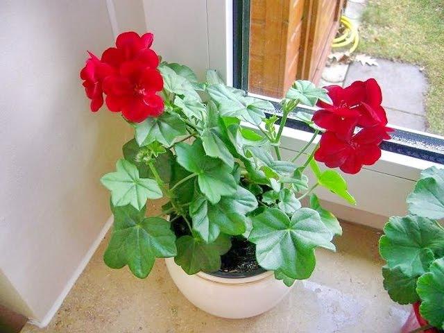 Почему не цветет ГЕРАНЬ, что делать? ❖❖❖ Как заставить цвести комнатную ГЕРАНЬ