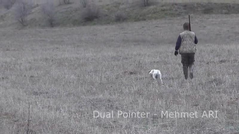 Pointer (Puanter) Keklik Avı Ferma Videoları, Dual Pointer (Mehmet ARI)