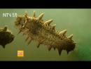 Трепанг Цы Шэнь, или ХайШэнь, или Морской огурец. Технология искусственного разведения трепангов.
