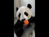 Adorable Panda Bear Eating Ice Cream (Popsicle)-1.mp4