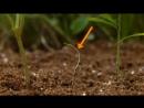 Повилика - карантинный сорняк, без корней и листьев, добычу находит по запаху