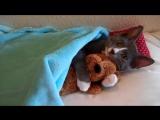 Кошка спит с ее плюшевый