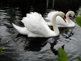 Лесоповал-А белый лебедь на пруду.mp4