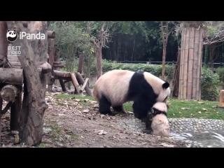 Мама-панда пытается искупать детеныша