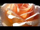 Waltz and the Rose -Akordeon