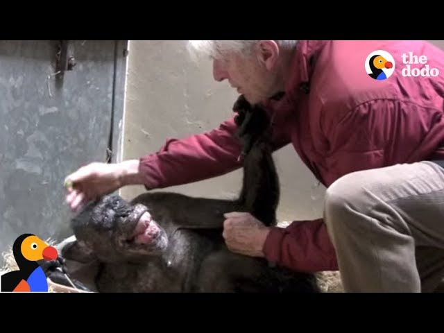 Dying Chimp Says Goodbye To Old Friend | The Dodo