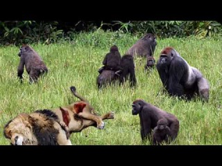 Lion vs gorilla vs sư tử vs leopard vs baboon Real fight ➲ Great Animals Fight To Death