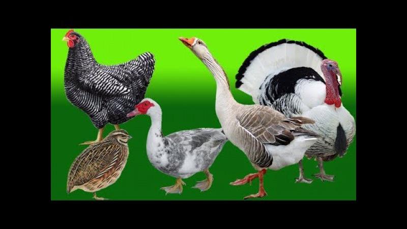 Mengenal Suara Hewan Peternakan Binatang Ternak Ayam Bebek Angsa Kalkun Burung Puyuh