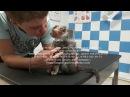 Синдром Лайелла у котёнка Скоттиш фолд требуется серьезное лечение Ветеринария