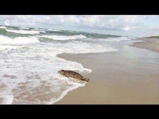 Калининградский зоопарк выпустил в море детенышей балтийского тюленя
